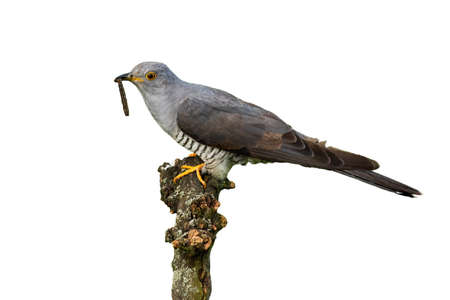Common cuckoo, cuculus canorus, feeding on bough on white background. Feathered animal sitting in treetop with worm in beak with space for text. Wild bird looking from branch cut out on blank.
