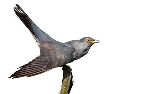 Common cuckoo, cuculus canorus, sitting on branch isolated on white background. Grey bird looking with open mouth cut out on blank. Exotic feathered animal staring on bough with copy space.