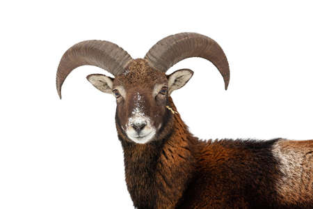 Mouflon, ovis orientalis, looking to the camera isolated on white background. Wild ewe watching in detail cut out on blank. Brown horned animal head staring with space for text.