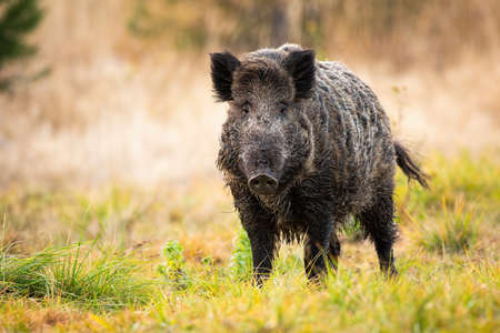 Wild boar, sus scrofa, standing on meadow in autumn nature. Big male mammal with long dark fur looking to the camera on field in fall season. Brown animal watching on grassland.