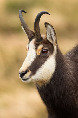 Close-up of tatra chamois, rupicapra rupicapra tatrica, looking in mountains in autumn nature. Wild animal watching in wilderness. Herbivorous mammal with curved horns in detail.