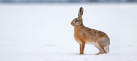 Brown hare, lepus europaeus, standing on snow in winter nature. Wild rabbit observing on a field in cold weather from side view. Herbivore animal with long ears looking aside on white glade.