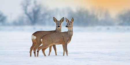 Two young roe deer, capreolus capreolus, standing on snow in wintertime with copy space. Brown mammal siblings observing on white field in panoramic horizontal composition at sunset. Stock fotó