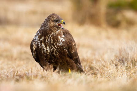 Fierce common buzzard, buteo buteo, screeching on field in autumn. Dominant bird of prey with spotted plumage sitting with open beak on dry field. Wild brown animal calling on grass.
