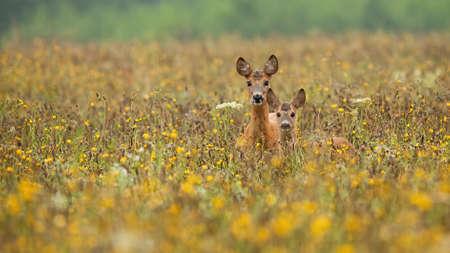 Two roe deer, capreolus capreolus, standing in wildflowers in summertime. Wild mammal family looking to the camera in colorful flowers. Brown antlered animals watching in fresh field.