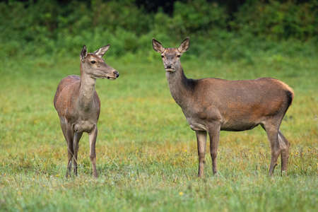 Two red deer, cervus elaphus, standing on meadow in summertime nature. Wild mammals looking on grass in fall. Brown hinds observing on field in autumn.