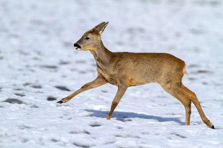 Roe deer, capreolus capreolus, doe running on meadow in wintertime nature. Wild female mammal sprinting on snowy field. Brown herbivore animal in movement on white glade.