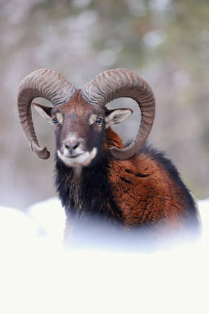 Mouflon, ovis orientalis, ram looking on snowy meadow in wintertime nature. Vertical composition of wild horned mammal watching on white field from close-up in winter.