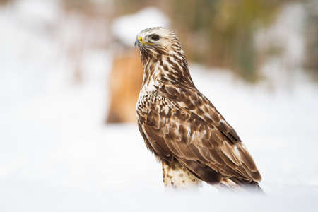 Cruel common buzzard, buteo buteo, sitting on meadow in winter. Fierce bird of prey watching on snowy ground. Feathered wild animal looking on snow.