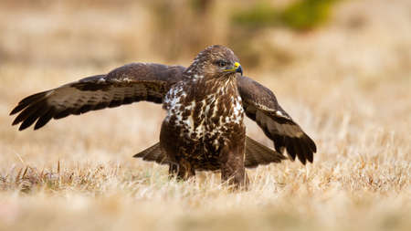Common buzzard, buteo buteo, landing on meadow in autumn nature. Dominant bird of prey with spread wings on dry field. Wild feathered animal sitting on grass. Фото со стока