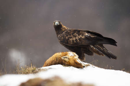 Golden eagle, aquila chrysaetos, looking to the camera on meadow in winter. Majestic bird standing next to prey on white field. Wild brown feathered animal with killed dead fox on snowy glade. Zdjęcie Seryjne