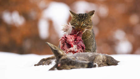 Hungry european wildcat, felis silvestris, feeding on snow in winter. Brown predator eating raw bloody meat of a prey. Stripped cat tearing a red bowels on white field.