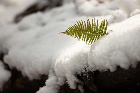 Lady fern, athyrium filix-femina, growing from the snow cover in wintertime. Little green leaf peeking out of the white layer in spring. Concept of new life born in nature.