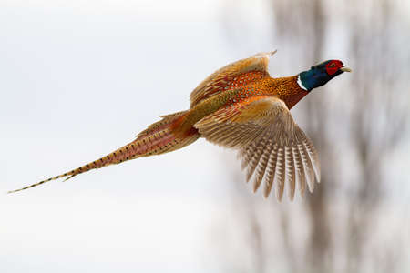 common pheasant, phasianus colchicus, flying in the air in winter nature. Ring-necked bird with spread wings on the sky. Male brown feathered gamebird hovering in wintertime.
