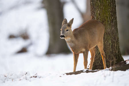 Roe deer, capreolus capreolus, doe looking aside in forest in wintertime nature with copy space. Wild mammal female watching in white woodland. Brown animal standing in snowy environment. Banco de Imagens