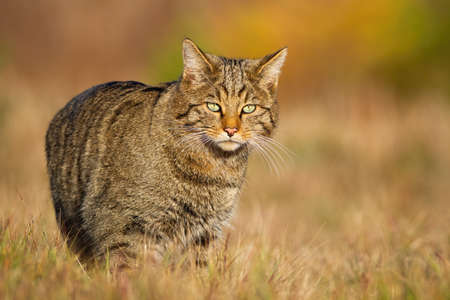 European wildcat, felis silvestris, walking on sunlit meadow in autumn nature. Stripped mammal hunter looking to the camera on dry grass. Animal wildlife on field in fall at sunset.