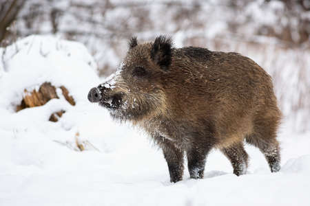 Wild boar, sus scrofa, standing on snow in wintertime nature. Brown mammal looking on snowy meadow. Big animal with hairy fur observing on white field.