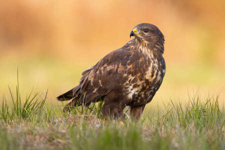 Common buzzard, buteo buteo, sitting on the ground in autumn nature. Wild bird of prey looking aside on meadow at sunset. Brown feathered animal observing on grassland.
