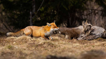 Red fox, vulpes vulpes, tearing prey on field in autumn nature. Wild mammal feeding on dry grassland from side. Orange predator pulling dead roe deer on meadow.