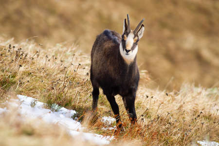 Tatra chamois, rupicapra rupicapra tatrica, standing on dry meadow in winter nature. Animal with rough horns looking to the camera on alpine mountains. Wild goat watching on grassland.