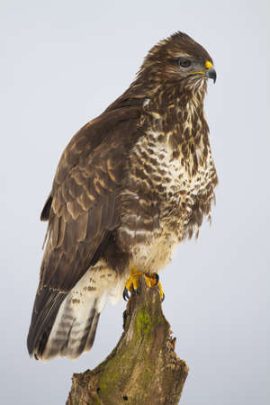 Common buzzard, buteo buteo, sitting on tree in wintertime nature. Bird of prey looking on trunk in wilderness. Vertical compositio of brown and white animal observing on wood.