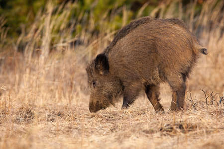 Wild boar, sus scrofa, digging with snout on dry meadow in autumn nature. Mammal with dark dirty fur sniffing on field in fall. Brown hairy hog walking on pasture.