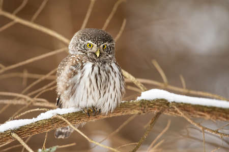 Eurasian pygmy owl, glaucidium passerinum, sitting on branch in winter nature. Small feathered predator looking down on snowy bough. Brown little animal resting on white twig. Stockfoto