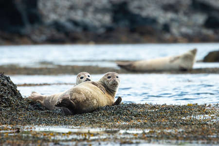 Two harbor seals, phoca vitulina, lying on a seashore and looking into the camera. Group of surprised marine mammals resting on rocks by water in Iceland, Europe.