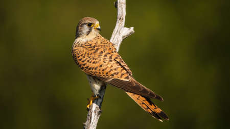 Patterned common kestrel, falco tinnunculus, female with dark stripes on brown feathers looking back over shoulder on a branch in summer nature. Bird of prey perched on a dry twig.