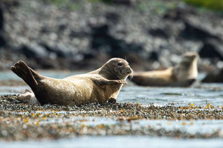 Common seal, phoca vitulina, waving with the fin on a shore in summer nature. Gray marine mammal lying down and basking on sun a sunny day in horizontal composition with another animal in background. Stockfoto