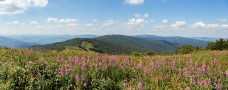 Summer nature scenery with purple wildflowers growing on top of hill in Poloniny national park, Slovakia, Europe. Panoramic composition of mountains covered with green plants and blue sky above.