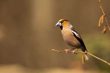 Colourful hawfinch, coccothraustes coccothraustes sitting on the hazel tree in springtime. Big songbird resting and enjoying the sunlight. Finch with massive beak perched on the blooming twig.
