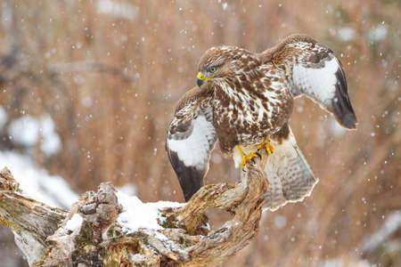 Beautiful common buzzard, buteo buteo, hunting in the snow. Majestic bird of prey with open wings in winter. Adult buzzard looking down from the branch. Brown raptor showing its dominance in nature.