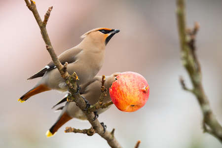 Two bohemian waxwings, bombycilla garrulus, resting on tree in winter nature. Color songbirds eating apple on branch. Brown feathered animals sitting on twig.