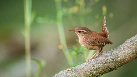Eurasian wren, troglodytes troglodyte, sitting on tree in summertime nature. Little brown songbird resting on wood in forest. Small feathered animal observing on mossed branch.