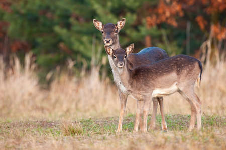 Two fallow deer, dama dama, standing on field in autumn nature. Hind mother with young fawn looking o dry grassland in fall. Family of female mammals watching on meadow.