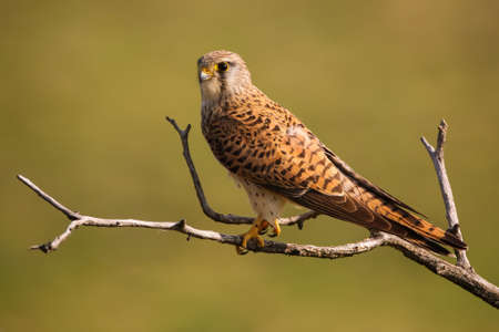 Alert common kestrel, falco tinnunculus, female sitting on a tree in sunny spring nature. Shy wild bird resting on branch in horizontal composition with blurred green background.