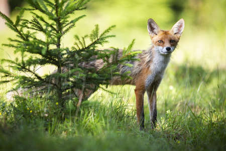 Skinny red fox, vulpes vulpes, peeking out from behind the conifer in sunlight. Tiny predator looking to the camera next to tree in summer light. Orange mammal hiding on grassland.