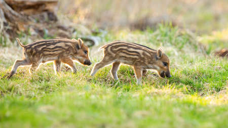 Young wild boars, sus scrofa, grazing on meadow in springtime nature. Little striped piglets feeding on green grass on glade. Baby animal walking on colorful field.
