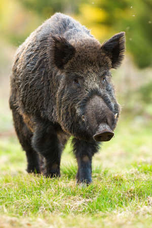 Wild boar, sus scrofa, marching on green glade in spring nature. Brown snout walking on grassland in springtime. Hairy big hog going on fresh meadow vertical.