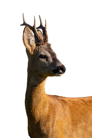 Roe deer, capreolus capreolus, looking in close up isolated on white background. Roebuck watching in detail illuminated by sun cut out on blank. Animal wildlife with copy space.