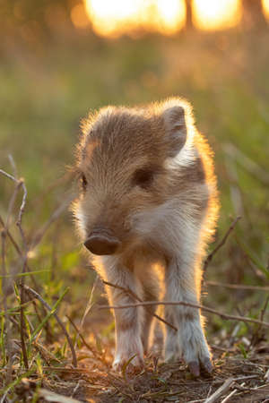 Lovely young wild boar, sus scrofa, piglet standing on field at sunset. Cute juvenile mammal with stripes looking to the camera from front view in golden hour in vertical composition. Banco de Imagens