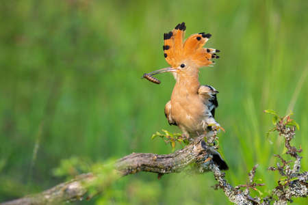 Eurasian hoopoe, upupa epops, sitting on bush in springtime nature. Orange bird with crest holding insect in beak on mossed branch. Striped feathered animal resting on tree.