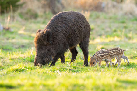 Family of wild boar, sus scrofa, grazing on glade in spring nature. Adult hairy mammal with piglets feeding on green grass backlit by morning sun.
