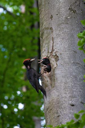 Black woodpecker mother feeding chicks in a cavity of beech tree in summer