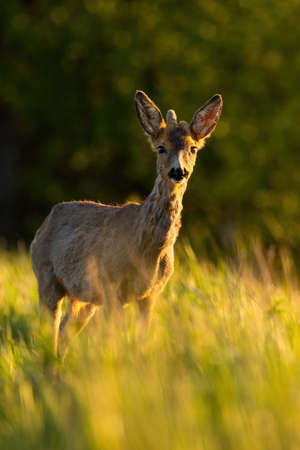 Young roe deer with growing antlers standing on field in sunlight. Фото со стока