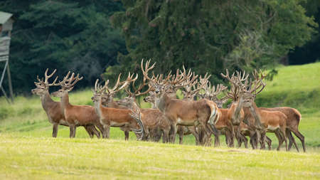 Group of red deer standing on field in summer nature