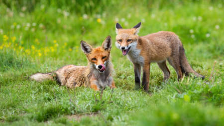 Two red fox lying on green meadow in summertime nature Фото со стока