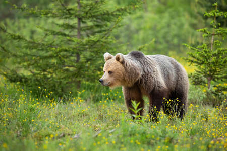 Brown bear walking among wildflowers in summer nature Фото со стока