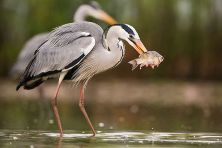 Grey heron fishing in water with another one in background Фото со стока